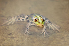 Frog in the algae Stock Image