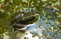 Frog on the algae in the pond Stock Images