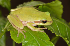 Frog amphibian Royalty Free Stock Photography