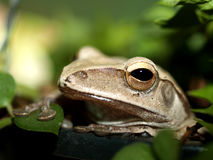 Frog  , amphibian. A photo of closeup of a  frog  , amphibian Royalty Free Stock Photography