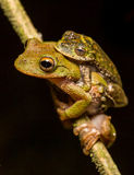 Frog amplexus Stock Photo