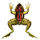 Frog anatomy Stock Image