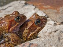 Frog animal amphibian on nature and eye close-up Stock Photos