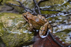 Frog animal brown sharp good nice river water Stock Image