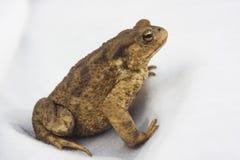 Frog animal on white background. Suka Royalty Free Stock Photos