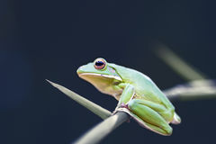 Frog, animals, Royalty Free Stock Photography