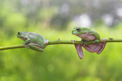 Frog, animals, Royalty Free Stock Photos