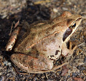 Frog. Anuran Royalty Free Stock Photo