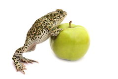 Frog,apple Royalty Free Stock Photo