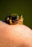 Frog on the arm Royalty Free Stock Photography