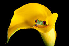 Frog in arum lily Stock Photo