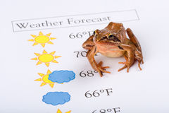 Frog as a weather prophet makes the weather forecast, English Version Royalty Free Stock Photography