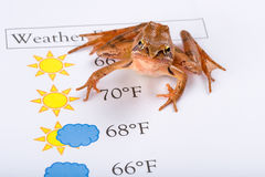 Frog as a weather prophet makes the weather forecast, English Version Stock Image