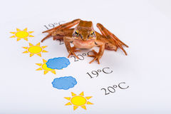Frog as a weather prophet makes the weather forecast, Universal Version Royalty Free Stock Photos