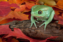 Frog in autumn Stock Photos