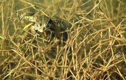 Frog in Azerbaijan. Frog in rural Azerbaiajn, Lankaran, Grassy Weeds Camouflaging stock photos