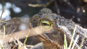 Frog at the backyard. Frog in the backyard, texture stock video footage