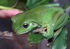 Frog Balance. Giant Australian Green Tree Frog waiting for a free feed of crickets Royalty Free Stock Images