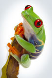 Frog on bamboo. Green Red-eyed frog sitting on bamboo and looking ahead Stock Images