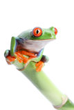 Frog on bamboo. Frog sitting on bamboo isolated on white. Red-eyed tree frog (Agalychnis callidryas Royalty Free Stock Photo