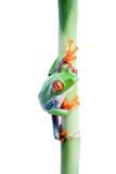 Frog on bamboo isolated stock photo