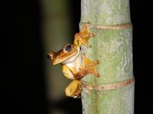 Frog on a bamboo tree. A frog on a bamboo tree at night Stock Photography
