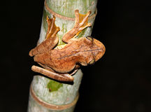 Frog on a bamboo tree. A frog on a bamboo tree at night Stock Photo