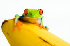 Frog on a banana. A red eyed tree frog sitting on a ripe yellow banana Royalty Free Stock Images