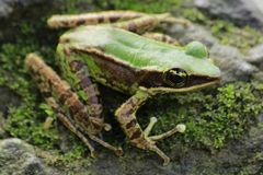 Frog bangkong under green toad in the tropical forests of Indonesia. Frog bangkong under green toadin the tropical forests of Blangpidie City, Aceh Province royalty free stock images