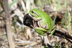 Frog. Basking in the spring sunshine Stock Images