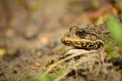 Frog basking in the sun Stock Photo