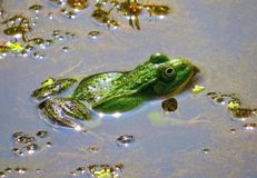 Frog basking in the sun Royalty Free Stock Photo