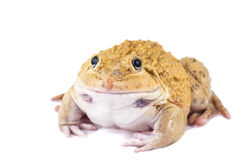 Frog. ฺBeautiful yellow   Frog on White background Royalty Free Stock Photos