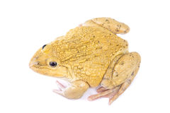 Frog. ฺBeautiful yellow Frog   on White background Stock Photo