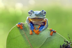 Frog behind leaf. Frog clinging to the leaves Stock Photography