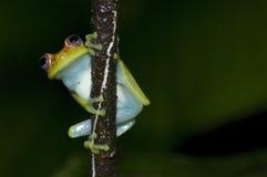 Frog with big eyes Stock Image