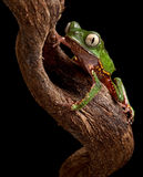 Frog with big eyes on branch of amazon tree Stock Photo