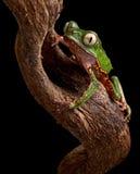 Frog with big eyes on branch of amazon tree stock photo