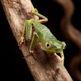 Frog with big eyes in tropical amazon rainforest Stock Photos
