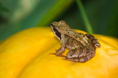 Frog on big pumpkin Stock Image