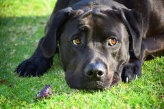 Frog and Dog. A frog and black Labrador on grass Royalty Free Stock Photos