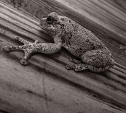A Frog in Black and White Royalty Free Stock Photo