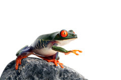 Frog is blind Royalty Free Stock Photos