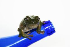 Frog on Blue Bottle. Whites tree frog on a blue bottle, taken with the canon digital rebel stock photography