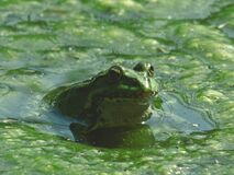 Frog on Body of Water during Daytime Stock Photo