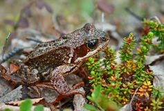 Frog on bog Stock Image