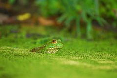 Frog In A Bog Royalty Free Stock Photo