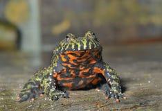 Frog (Bombina orientalis)  Royalty Free Stock Photo