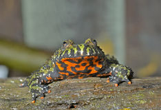 Frog (Bombina orientalis) 2 Royalty Free Stock Images