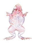 Frog bottom view with muscles isolated on white Royalty Free Stock Photo
